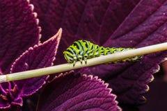 Κάμπια πεταλούδων Swallowtail Στοκ φωτογραφίες με δικαίωμα ελεύθερης χρήσης