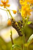 Κάμπια πεταλούδων Στοκ Εικόνες