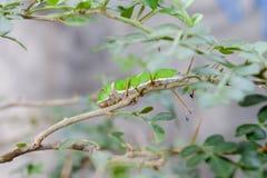 κάμπια πράσινη Στοκ Εικόνα