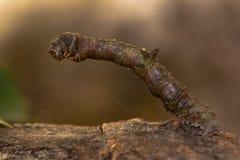 Κάμπια σκώρων θειαφιού (luteolata Opisthograptis) Στοκ Εικόνες