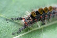 Κάμπια Butterflyl Στοκ φωτογραφίες με δικαίωμα ελεύθερης χρήσης