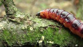 Κάμπια cossus Cossus σκώρων αιγών, μεγάλο κόκκινο σκουλήκι, που τρώει την ίνα ραφίας φιλμ μικρού μήκους