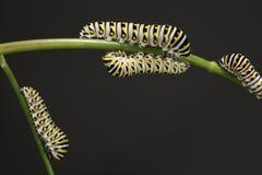 κάμπιες πεταλούδων swallowtail Στοκ εικόνα με δικαίωμα ελεύθερης χρήσης