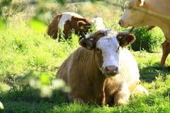 Κάνει την αγελάδα μουγκρητού στοκ εικόνες
