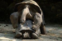 Κάνετε τον πόλεμο αγάπης όχι - Tortoises Στοκ Εικόνα