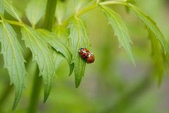 Κάνθαροι λαμπριτσών που ζευγαρώνουν στο πράσινο φύλλο Στοκ Φωτογραφίες