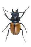 Κάνθαροι αρσενικών ελαφιών, Odontolabis elegans που απομονώνεται στο άσπρο υπόβαθρο Στοκ εικόνες με δικαίωμα ελεύθερης χρήσης