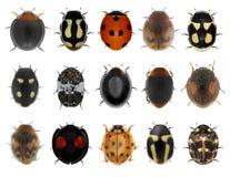 Κάνθαροι λαμπριτσών Ladybugs καθορισμένοι Στοκ Εικόνα