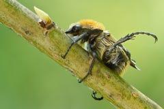 Κάνθαροι μελισσών, fasciatus Trichius στο δέντρο Στοκ Εικόνες