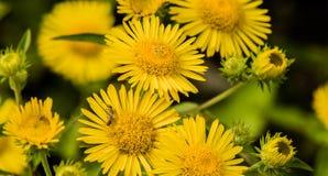 Κάνθαροι που ζευγαρώνουν στο κίτρινο λουλούδι Στοκ εικόνες με δικαίωμα ελεύθερης χρήσης