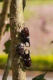 Κάνθαροι στο δέντρο Στοκ εικόνες με δικαίωμα ελεύθερης χρήσης