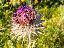Κάνθαροι στο λουλούδι κάρδων Στοκ Φωτογραφίες