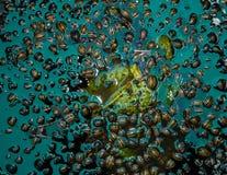 Κάνθαροι του Κολοράντο στο νερό Στοκ Φωτογραφία