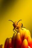 κάνθαρος λίγο πορτοκάλι Στοκ φωτογραφίες με δικαίωμα ελεύθερης χρήσης
