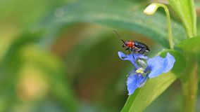 Κάνθαρος αγγουριών στο λουλούδι στοκ εικόνες