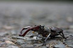 Κάνθαρος αρσενικών ελαφιών σε asphalt_DSC1797 στοκ φωτογραφίες με δικαίωμα ελεύθερης χρήσης