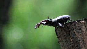 Κάνθαρος αρσενικών ελαφιών που σέρνεται σε έναν κορμό δέντρων αρσενικό ελάφι εντόμων καν φιλμ μικρού μήκους