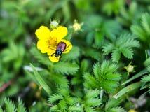 Κάνθαρος κήπων, horticola Phyllopertha Στοκ φωτογραφία με δικαίωμα ελεύθερης χρήσης
