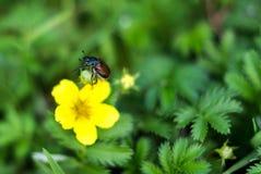 Κάνθαρος κήπων, horticola Phyllopertha Στοκ Φωτογραφία