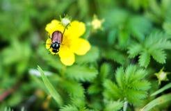 Κάνθαρος κήπων, horticola Phyllopertha Στοκ εικόνες με δικαίωμα ελεύθερης χρήσης