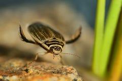 Κάνθαρος κατάδυσης (cinereus Graphoderus) Στοκ εικόνες με δικαίωμα ελεύθερης χρήσης