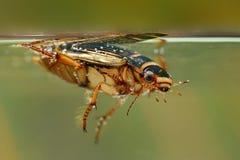 Κάνθαρος κατάδυσης (cinereus Graphoderus) Στοκ Φωτογραφία