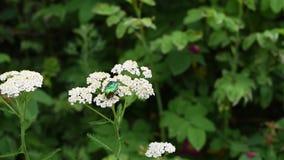 Κάνθαρος Μαΐου στο άσπρο λουλούδι στο πράσινο υπόβαθρο χλόης φιλμ μικρού μήκους