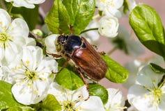 Κάνθαρος Μαΐου στο ανθίζοντας δαμάσκηνο μακρο μηλολόνθη Στοκ Φωτογραφίες