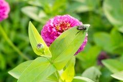 Κάνθαρος που τρώει το φύλλο στο πορφυρό λουλούδι με το βολβό σφιχτά συγκομιδή-3-2 Στοκ Εικόνα