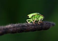 κάνθαρος πράσινος στοκ φωτογραφία