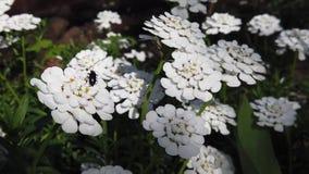 Κάνθαρος σε ένα λουλούδι απόθεμα βίντεο