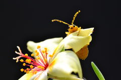 Κάνθαρος σε ένα λουλούδι purslane Στοκ Εικόνες