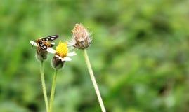 Κάνθαρος στο άγριο λουλούδι στοκ εικόνα με δικαίωμα ελεύθερης χρήσης