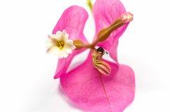 Κάνθαρος στο λουλούδι bougainvillea Στοκ Εικόνες