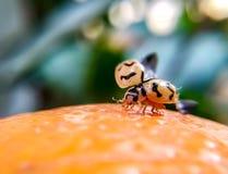 Κάνθαρος Ladybug στοκ εικόνες με δικαίωμα ελεύθερης χρήσης