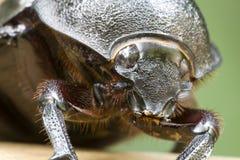 κάνθαρος rhinocerous Στοκ φωτογραφία με δικαίωμα ελεύθερης χρήσης