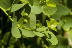Κάπαρη (spinosa Capparis) στοκ φωτογραφία με δικαίωμα ελεύθερης χρήσης