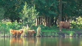 Κάποια βοοειδή Heck λούζουν σε μια λίμνη απόθεμα βίντεο
