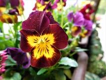 Κάποια όμορφη λεπτομέρεια στο λουλούδι ονόμασε τη βιολέτα Στοκ εικόνα με δικαίωμα ελεύθερης χρήσης