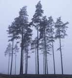 Κάποιο παλαιό δέντρο στην ομίχλη Στοκ Εικόνα