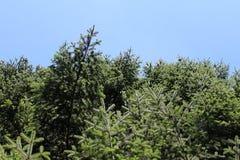 Κάποιο πράσινο pine-wood Στοκ Εικόνα