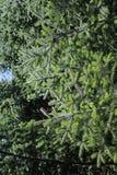 Κάποιο πράσινο pine-wood Στοκ Εικόνες
