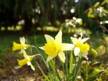 Κάποιο daffodil στο δάσος Στοκ Εικόνες