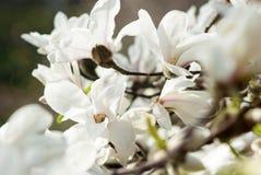 Κάποιο magnolia λουλουδιών Στοκ φωτογραφία με δικαίωμα ελεύθερης χρήσης
