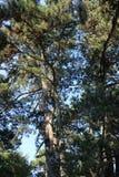 Κάποιο pine-wood Στοκ φωτογραφία με δικαίωμα ελεύθερης χρήσης