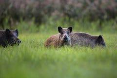 Κάπροι στις άγρια περιοχές Στοκ εικόνα με δικαίωμα ελεύθερης χρήσης