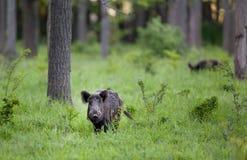 Κάπρος Wid στο δάσος Στοκ εικόνα με δικαίωμα ελεύθερης χρήσης