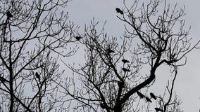 Κάργες στο άφυλλο δέντρο σε Voorst, Ολλανδία φιλμ μικρού μήκους