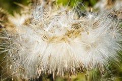 Κάρδοι †«ένα όμορφο λουλούδι στοκ φωτογραφία