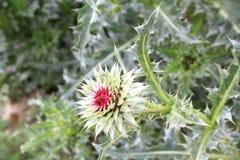 Κάρδος λογχών λουλουδιών στοκ εικόνες με δικαίωμα ελεύθερης χρήσης